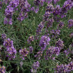 Lavender Sumian - Pure Essential Oil