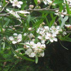 Lemon Tea Tree - Pure Essential Oil