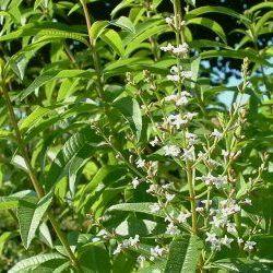 Lemon Verbena - Pure Essential Oil