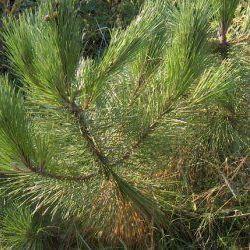 Maritime Pine - Pure Essential Oil