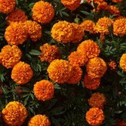 Marigold Tagetes - Pure Essential Oil