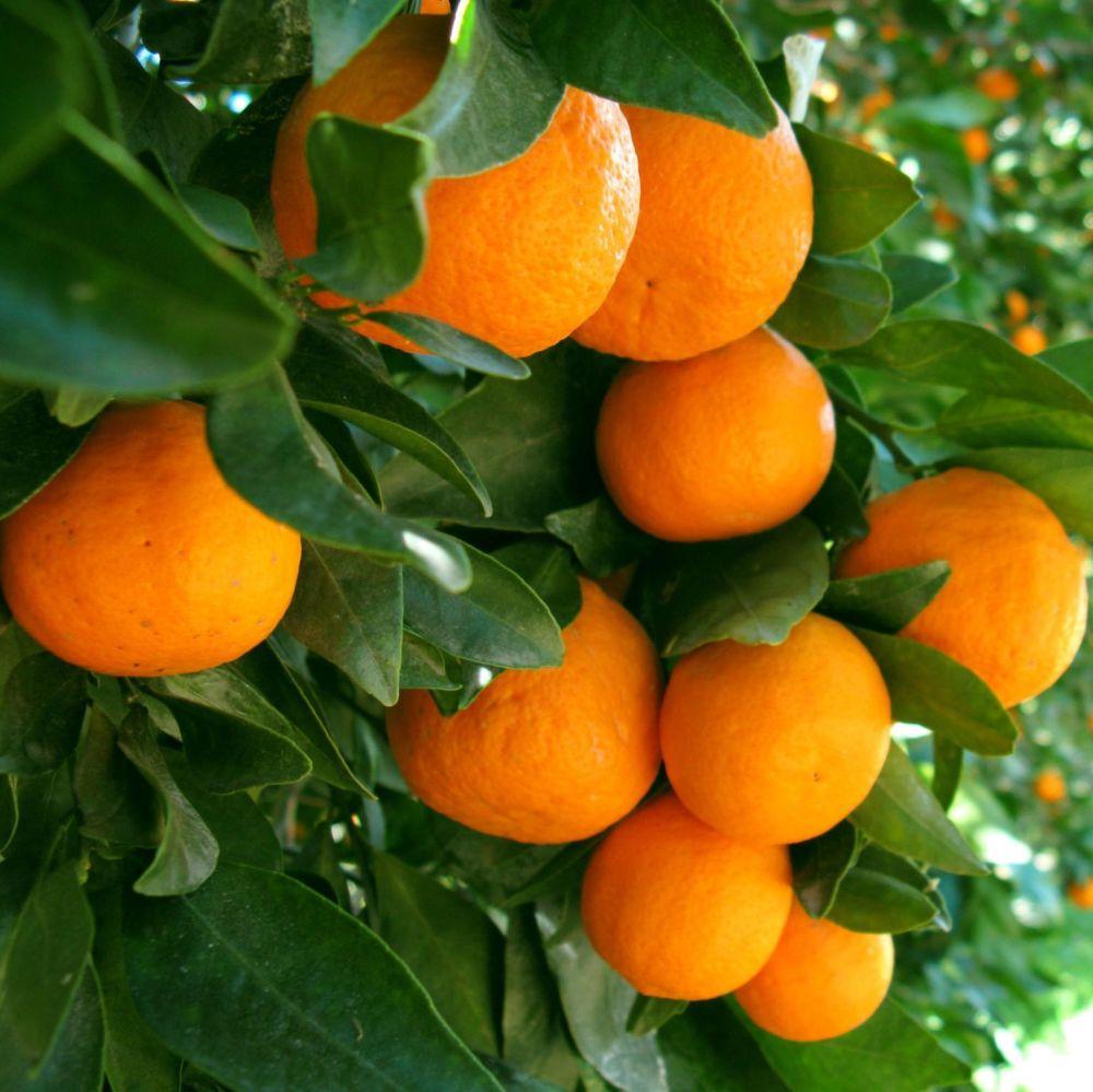 Mandarin Green - Pure Essential Oil