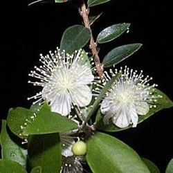 Myrtle - Pure Essential Oil