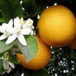 Orange Blood- Pure Essential Oil