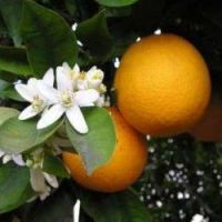 Orange Sweet - Pure Essential Oil