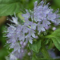 Pennyroyal - Pure Essential Oil