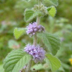 Peppermint Arvensis - Pure Essential Oil