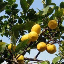 Petitgrain Lemon - Pure Essential Oil