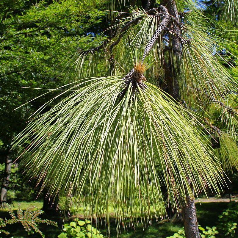 Pine Long Leaf - Pure Essential Oil