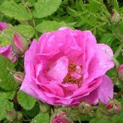 Rose 5% Dilute - Pure Essential Oil