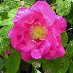 Rose Otto - Pure Essential Oil