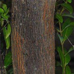 Sandalwood Mysore - Pure Essential Oil