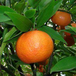 Tangerine - Pure Essential Oil
