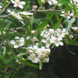 Tea Tree Lemon - Pure Essential Oil