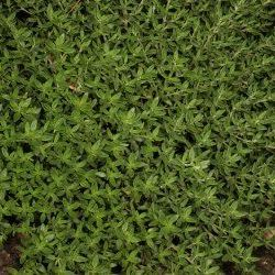 Thyme Red - Pure Essential Oil