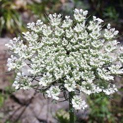 Wild Carrot Seed - Pure Essential Oil