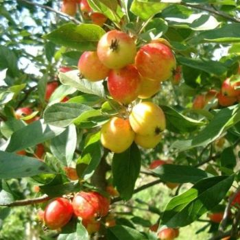 Apple Seed - 50ml Pure Carrier Oil