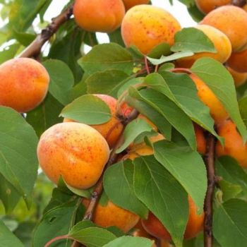Apricot Kernal - 100ml Pure Carrier Oil