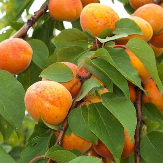 Apricot Kernal - 50ml Pure Carrier Oil