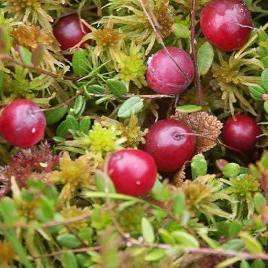 Arctic Cranberry Seed - 50ml Pure Carrier Oil