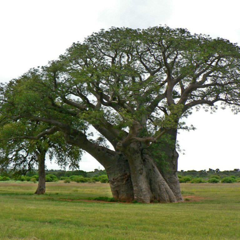 Baobab - 50ml Pure Carrier Oil
