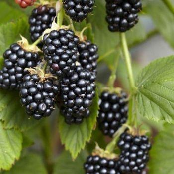 Black Raspberry Seed - 50ml Pure Carrier Oil