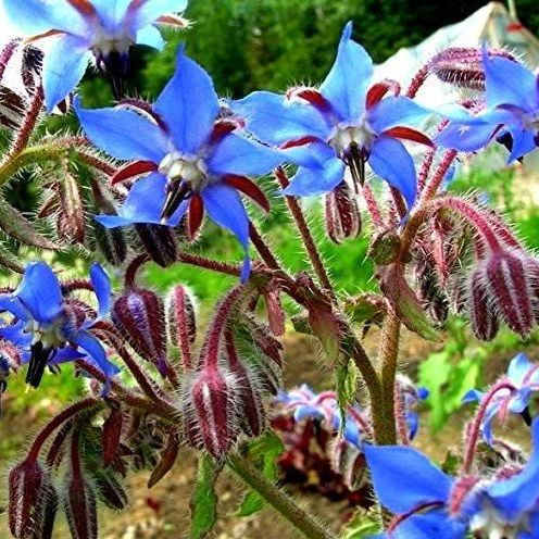 Borage Seed - 50ml Pure Carrier Oil