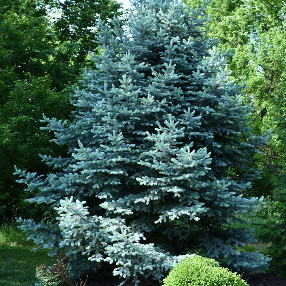 Blue Cypress - Pure Essential Oil