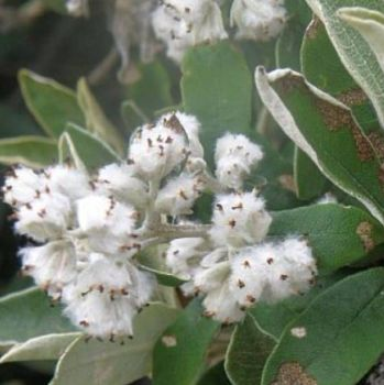 Camphor Bush - Pure Essential Oil