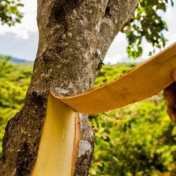 Cascarilla Bark - Pure Essential Oil