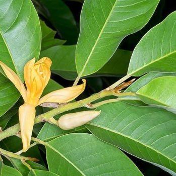 Champaca Leaf - Pure Essential Oil