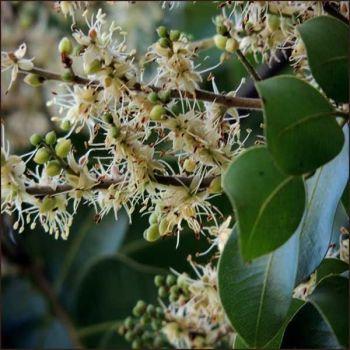 Copiaba Balsam - Pure Essential Oil