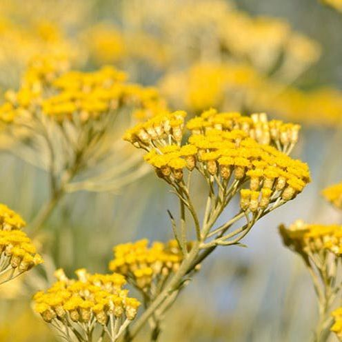 Helichrysum - Pure Essential Oil