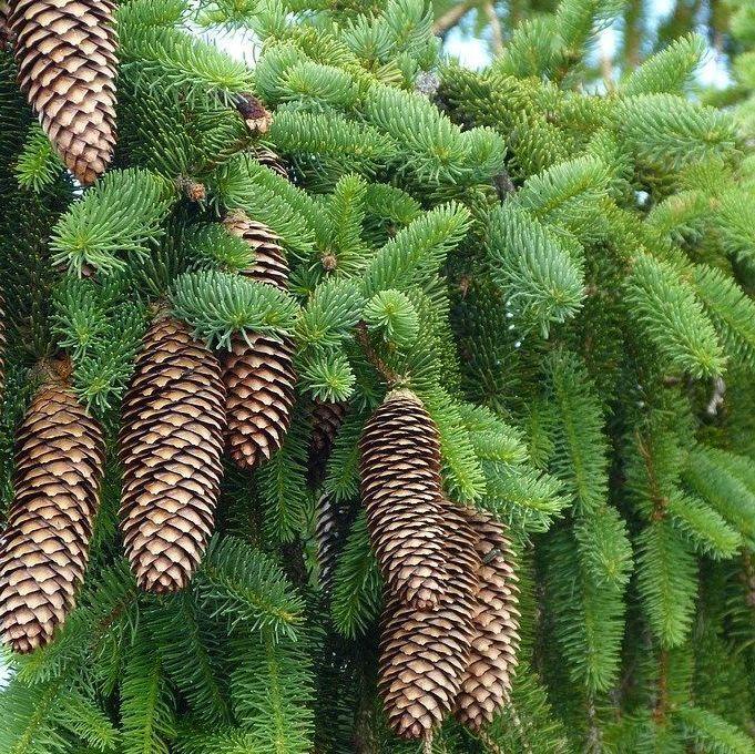 Pine Douglas - Pure Essential Oil