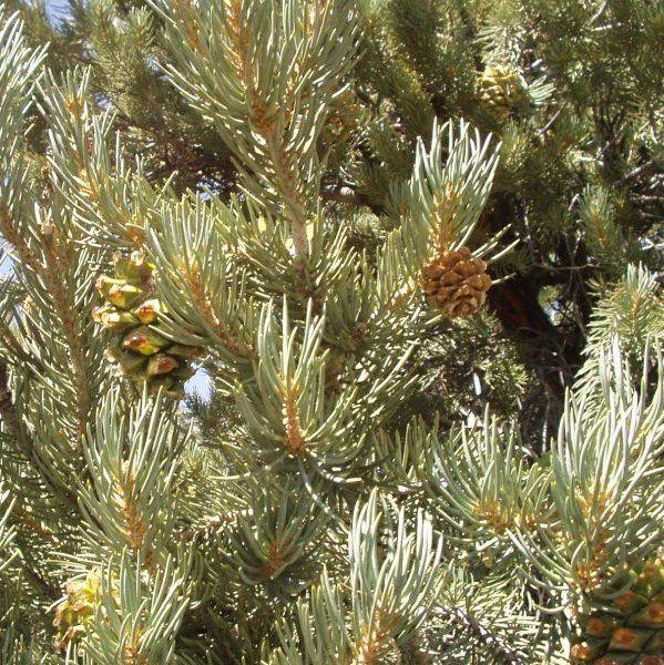 Pine Pinion - Pure Essential Oil