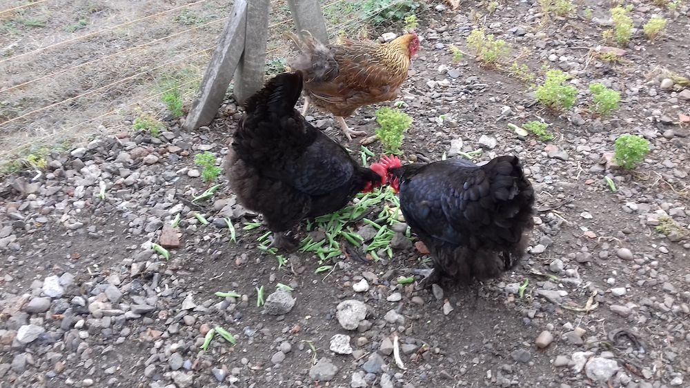 Breakfast eggs from Old Hathern Station hens