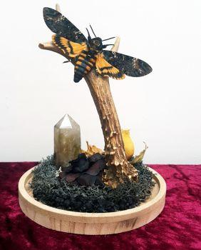 Real Deaths Head Hawk Moth On Antler Glass Display