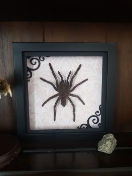 Gothic Framed Large Tarantula Eurypelma Spinicrus Spider