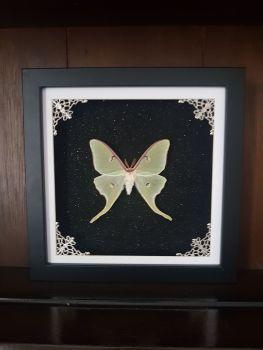 Actias Luna Moon Moth In Frame