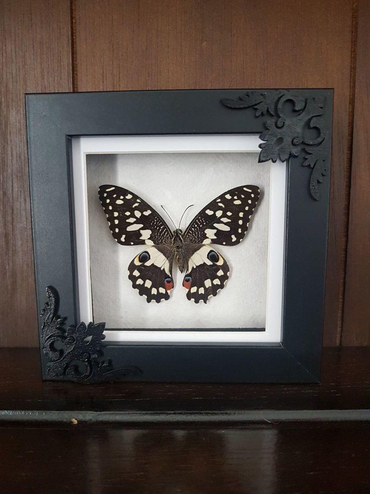 Lime Swallowtail Butterfly Papilio Demoleus