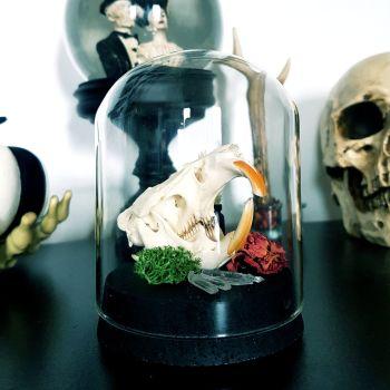 Muskrat Skull In Dome