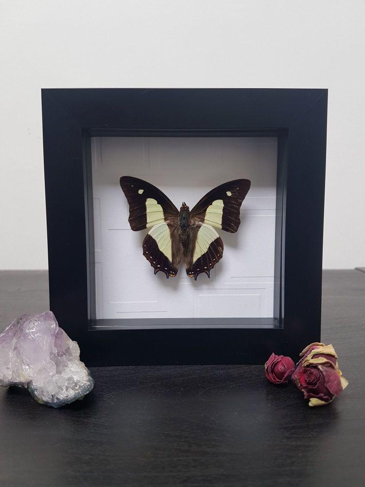 Polyura Athamas - Common Nawab Butterfly