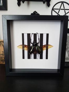 Chalcosoma Keyboh - Atlas Beetle