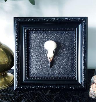 Magpie Skull In Ornate Frame