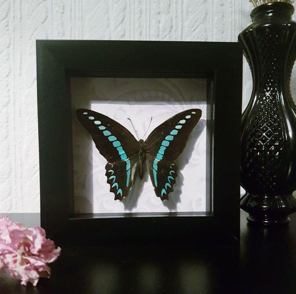 Graphium Sarpedon - Bluebottle Butterfly