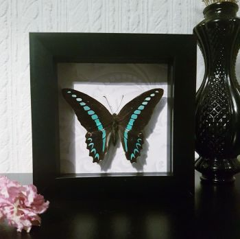 Graphium Sarpedon - Common Bluebottle Butterfly