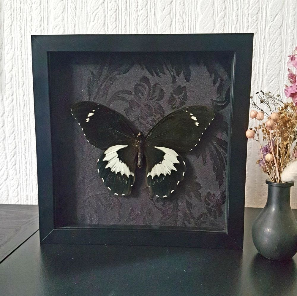 Papilio Gambrisius - Swallowtail Butterfly