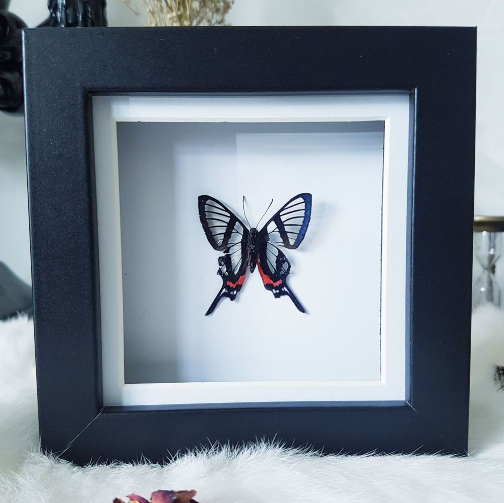 Chorinea Sylphina - Sylphina Angel Butterfly