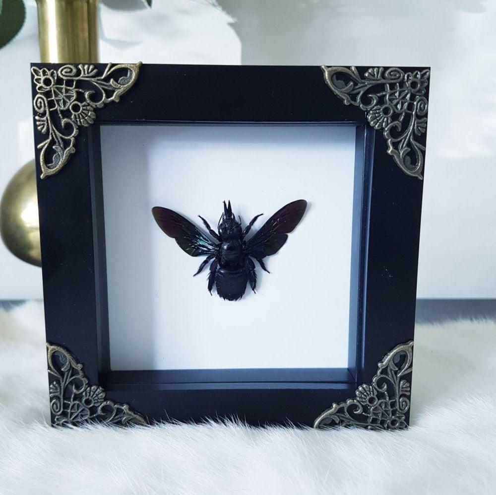 Xylocopa Latipes - Tropical Carpenter Bee