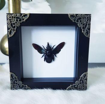 Xylocopa Latipes - Giant Black Tropical Carpenter Bee